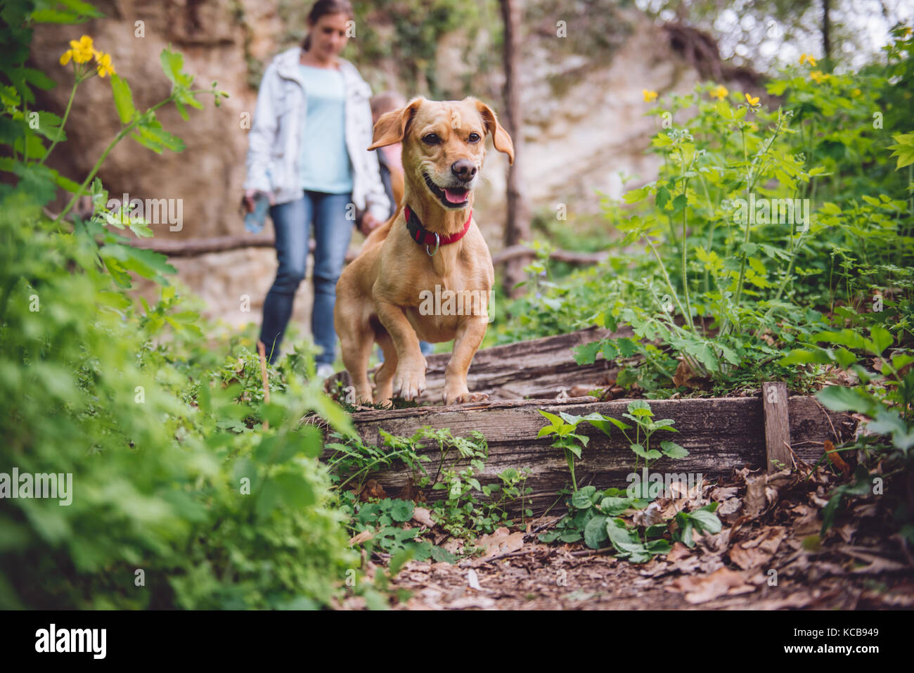 Small yellow Dog on a forest trail with a people walking in the background - Stock Image