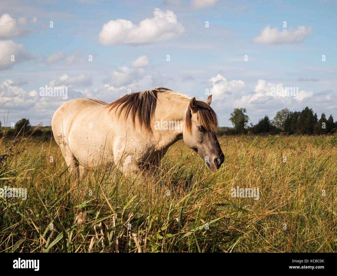 Konik Stallion Grazing on Wicken Fen - Stock Image