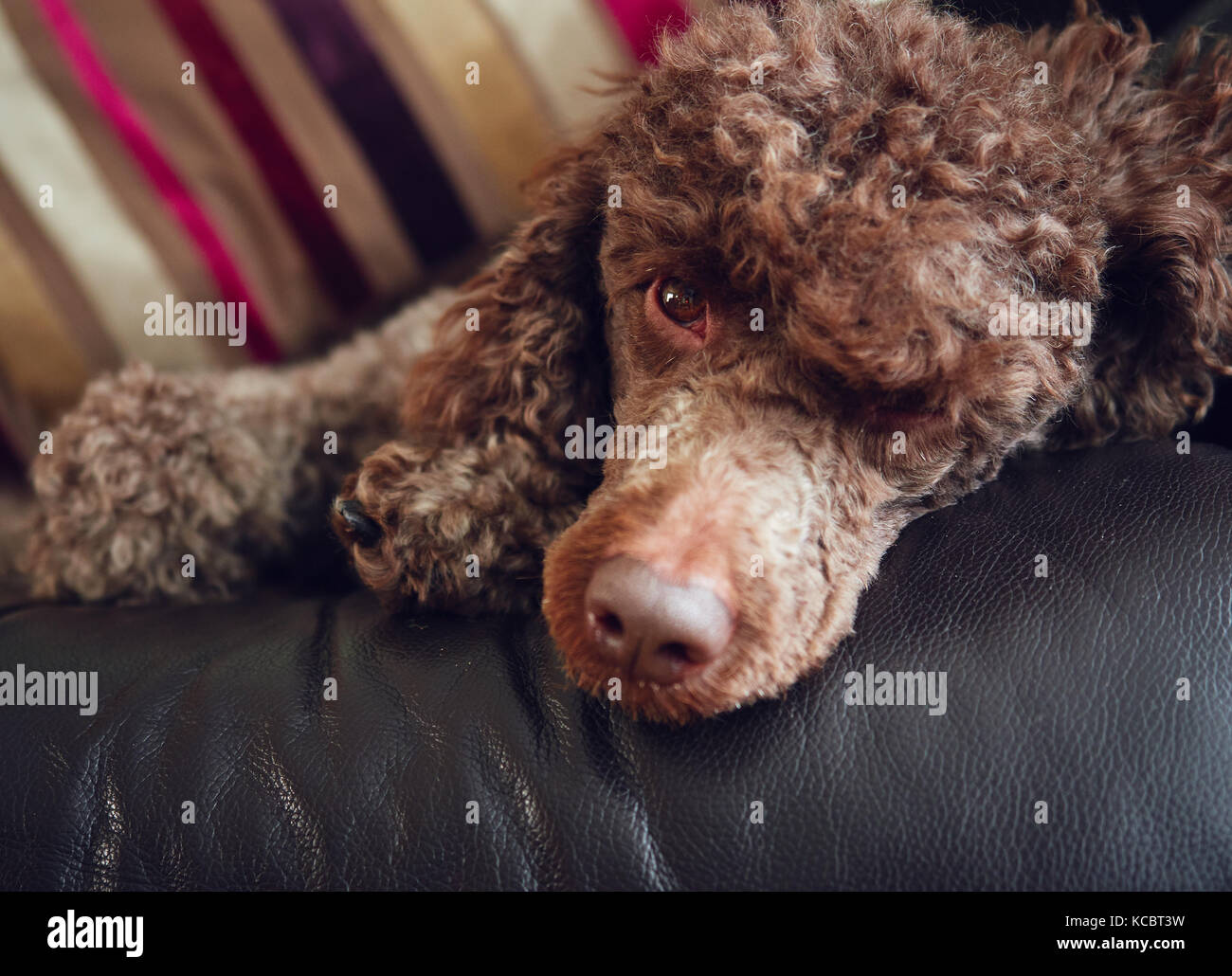 A chocolate miniature poodle sleeping on a sofa. - Stock Image