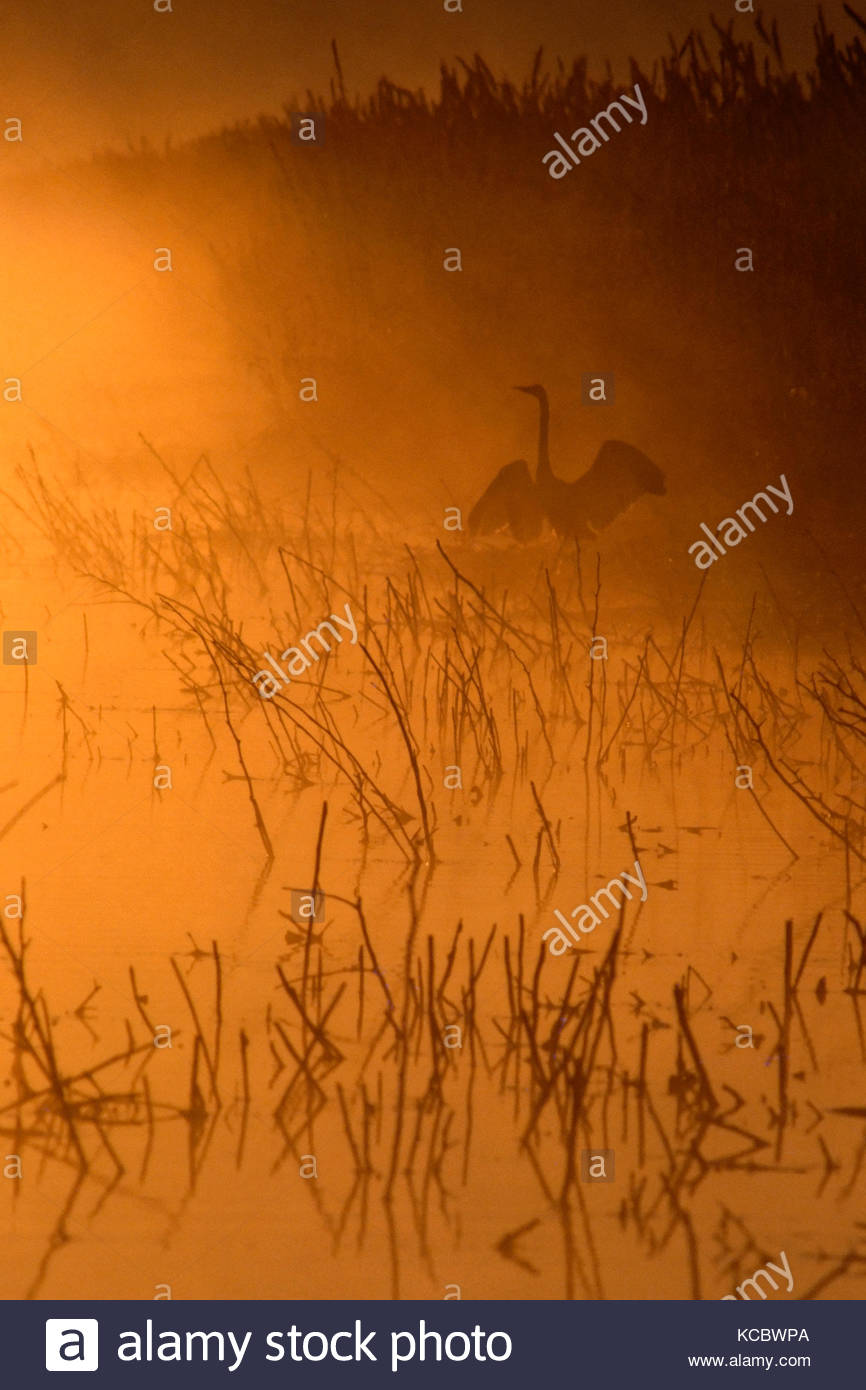 Great Egret at Dawn, Tule Lake National Wildlife Refuge, California - Stock Image