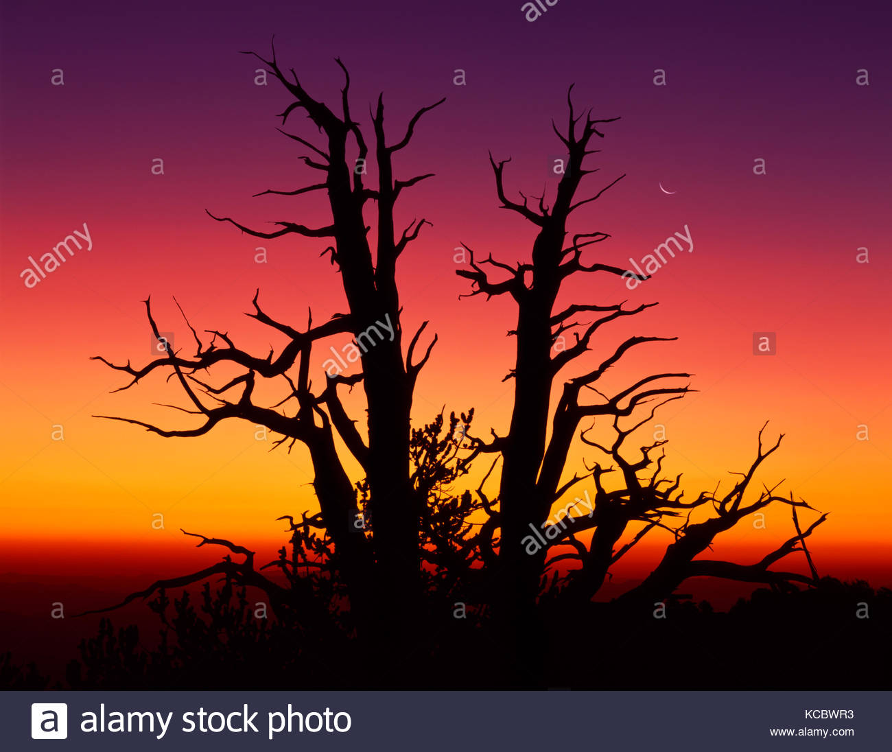 Ancient Bristlecone Pine with Rising Moon at Dawn, The White Mountains, California (color was from of Mt. Pinatubo Stock Photo