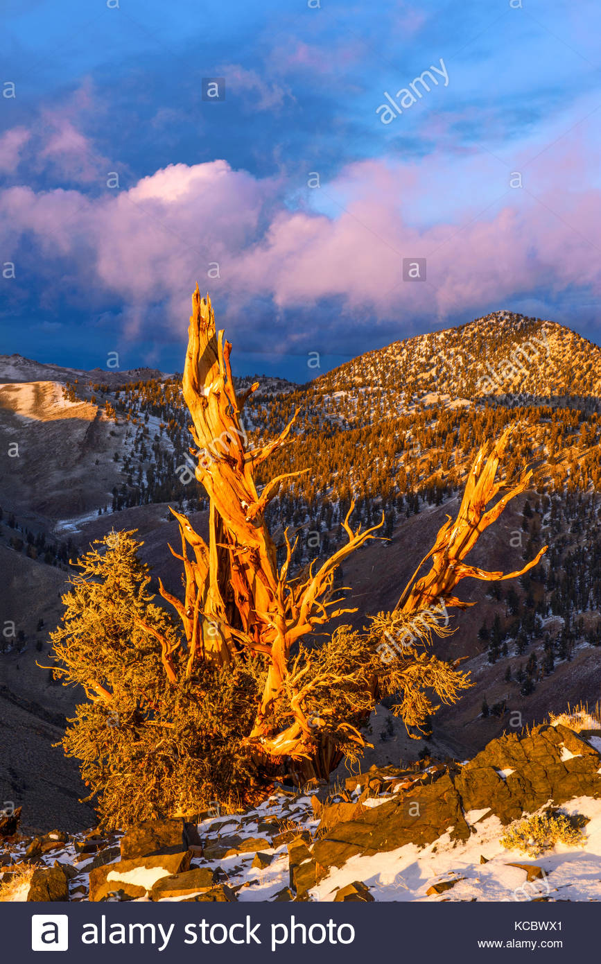 Clearing Storm and Sunset Glow on of Ancient Bristlecone Pine, The White MountainsInyo National Forest, California Stock Photo