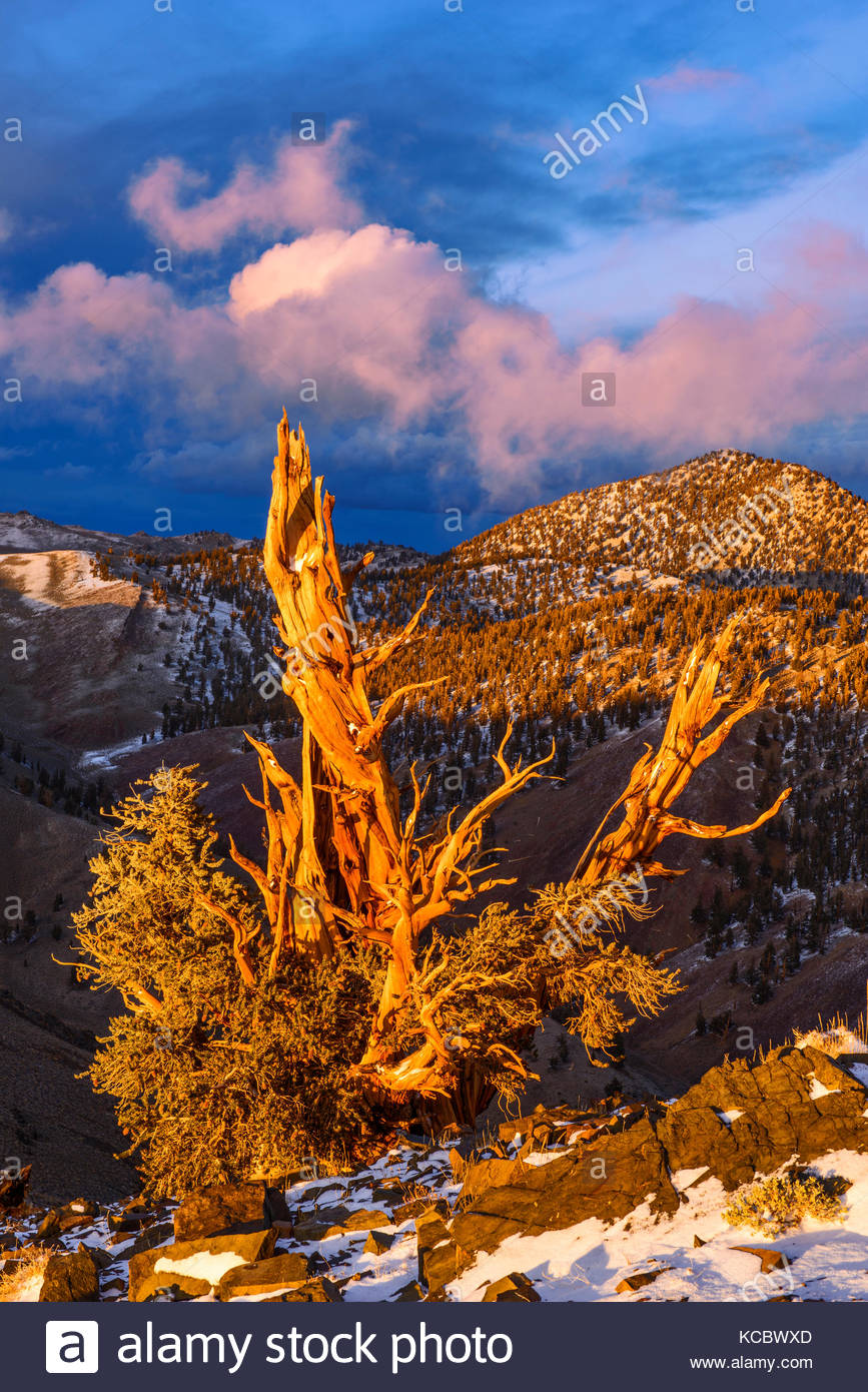 Clearing Storm and Sunset Glow on of Ancient Bristlecone Pine, The White Mountains, Inyo National Forest, California Stock Photo