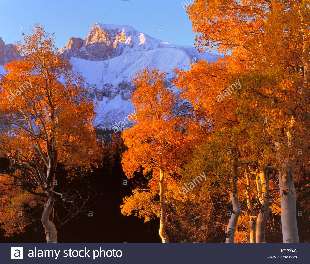 Sunrise on Aspens and Wheeler Peak, Great Basin National Park, Nevada - Stock Image