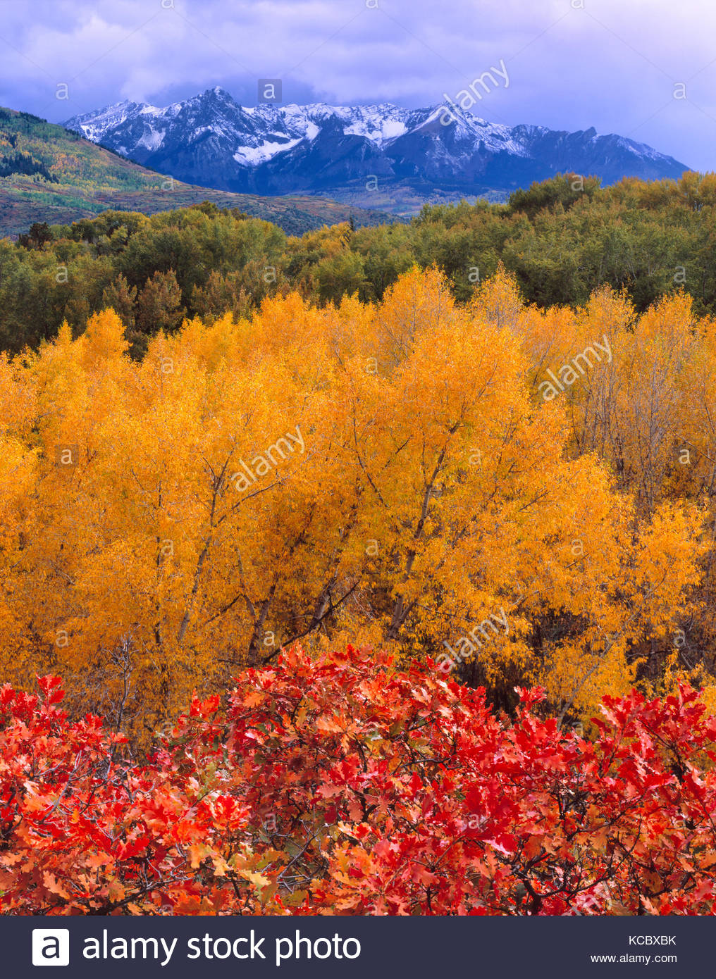 Gamble Oak, Narrowleaf Cottonwood and the San Juan Range, Uncompahgre National Forest, Colorado - Stock Image