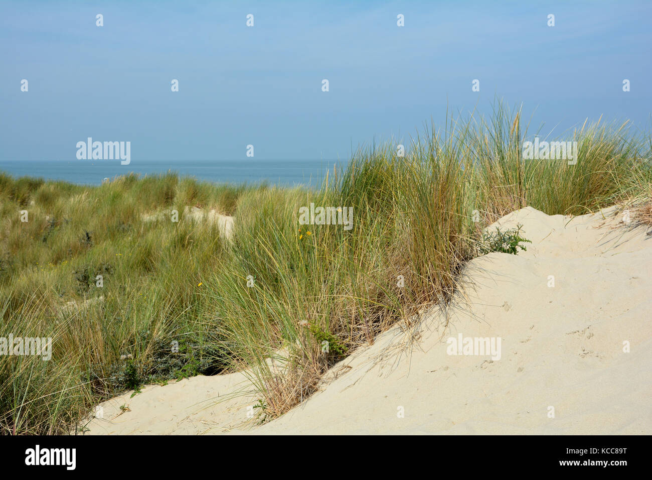 In the middle of sand dunes on the North Sea   with the sea in the background - Stock Image