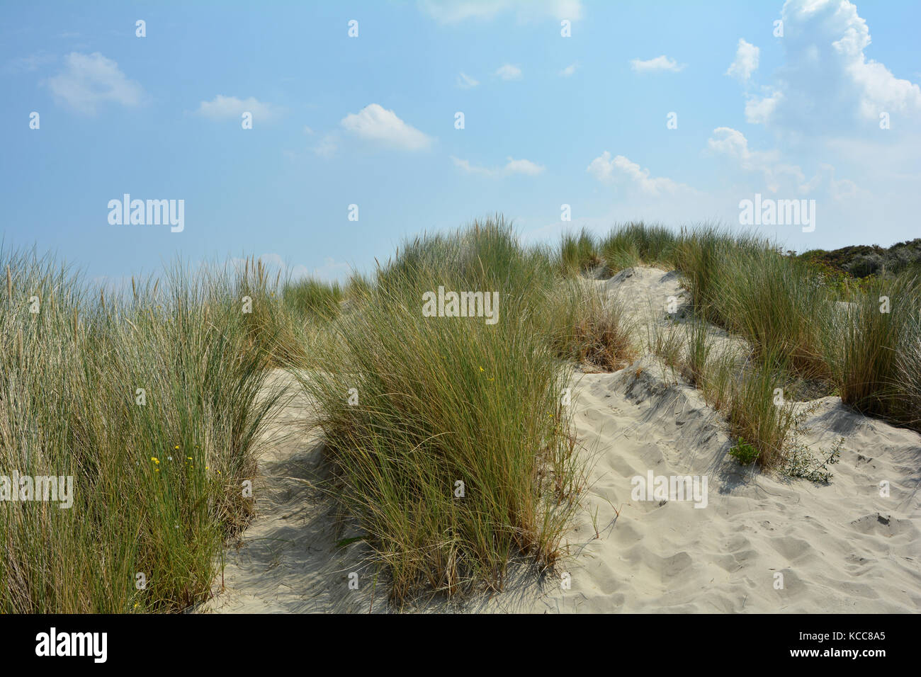 Beach oat in the sandy dunes on the North Sea coast  in the Netherlands on Zeeland on the island Schouwen-Duiveland - Stock Image