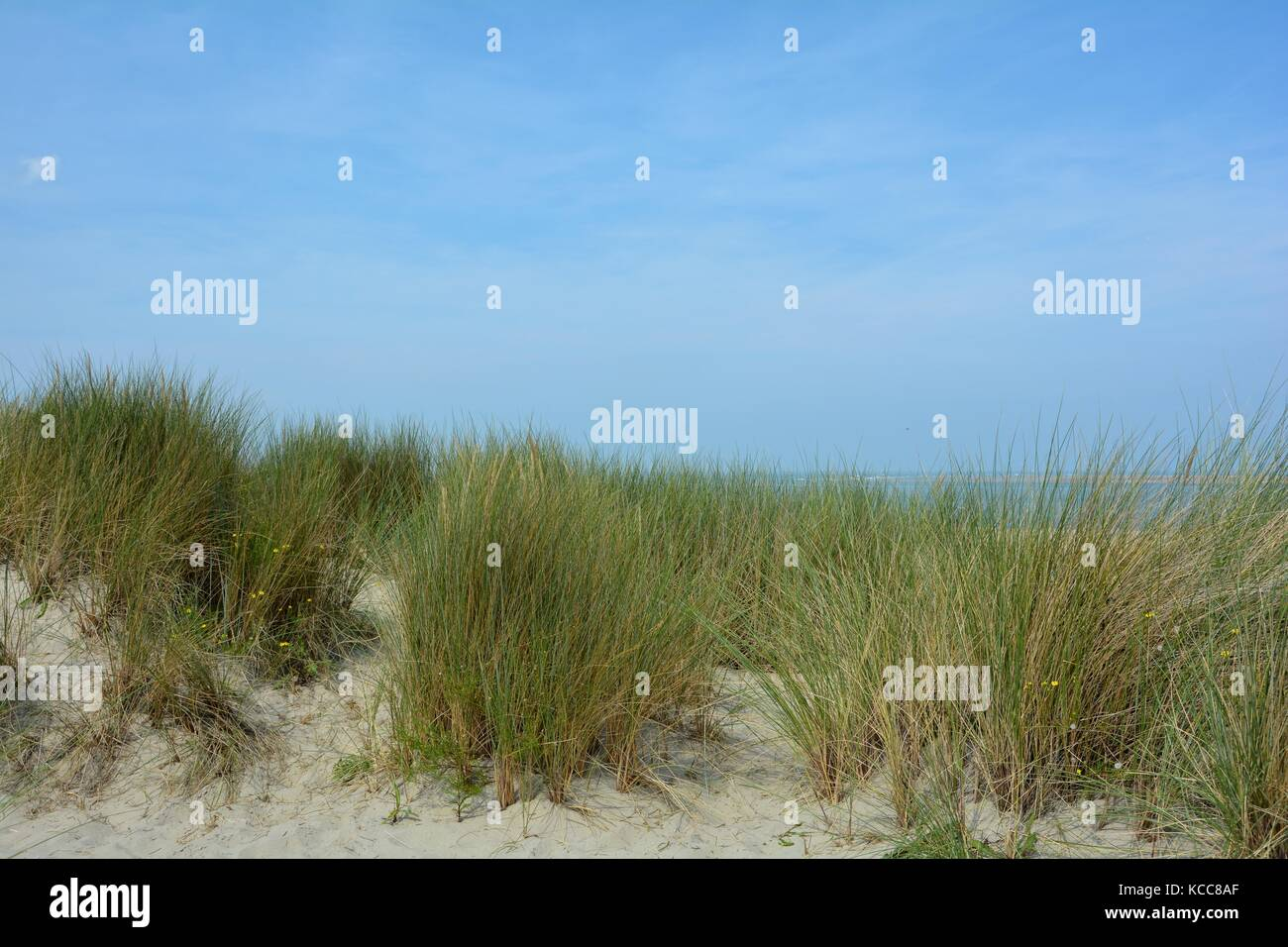 In the middle of sand dunes on the North Sea   with the sea in the background Stock Photo