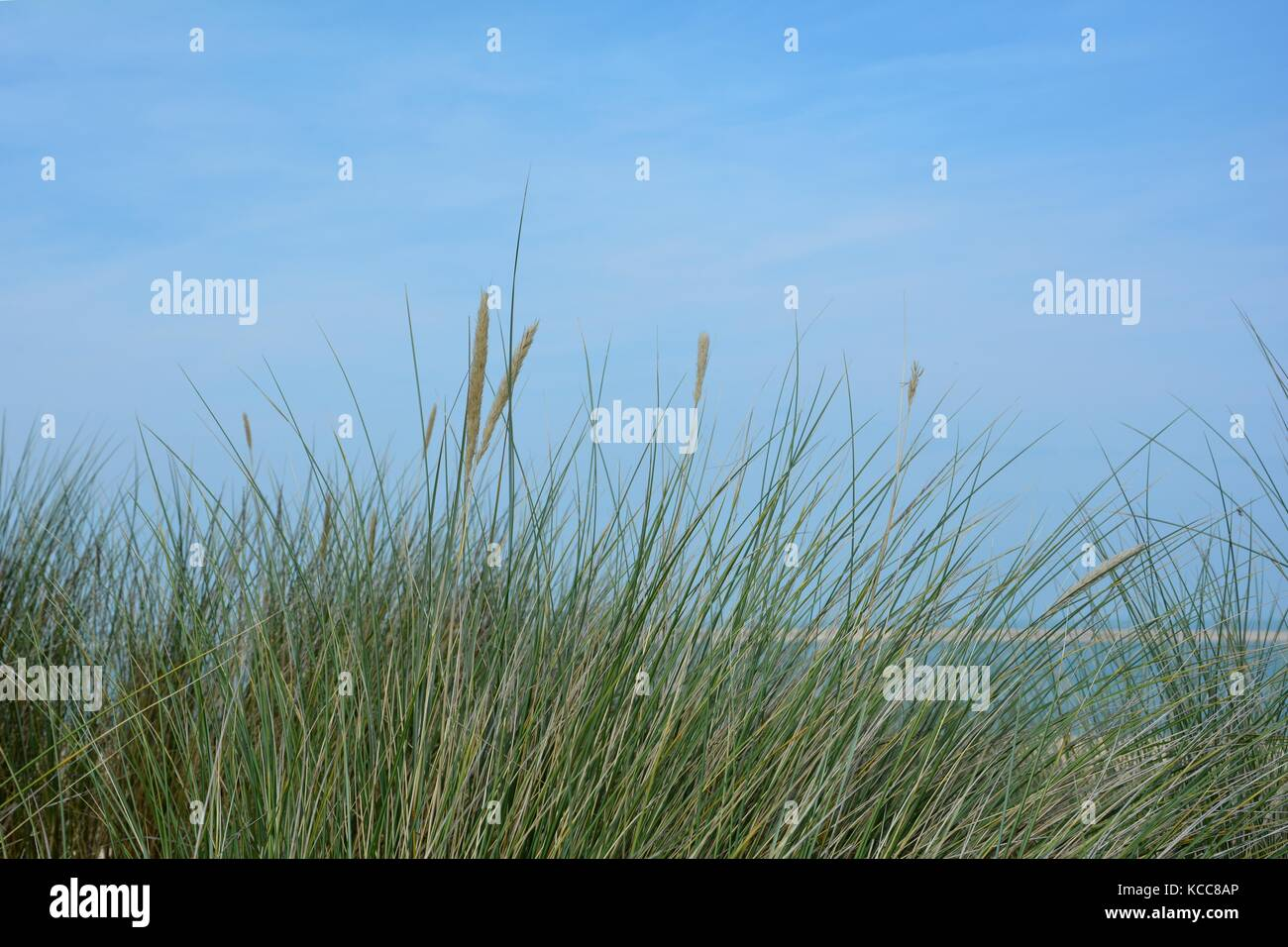 Beach oat in the sandy dunes on the North Sea coast - Stock Image