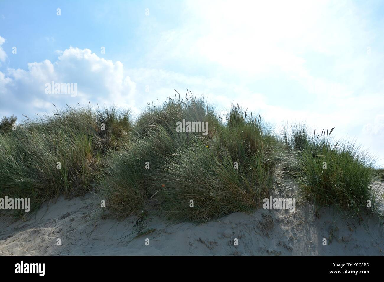 Beach oat in the sandy dunes on the North Sea coast in the backlight - Stock Image