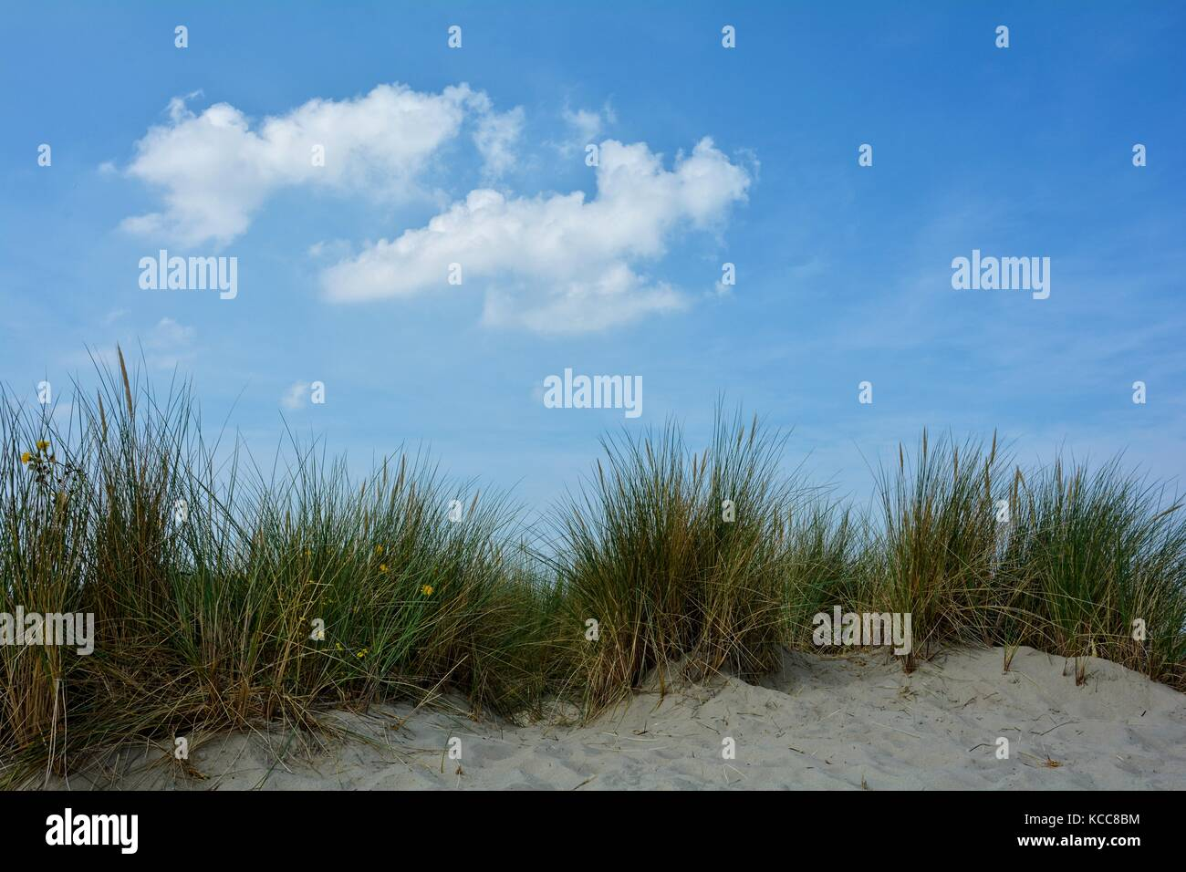 Beach oat in the sandy dunes on the North Sea coast  with many blue sky - Stock Image