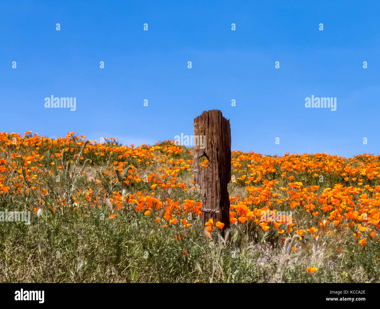 old fence post in poppy field in Antelope Valley California - Stock Image