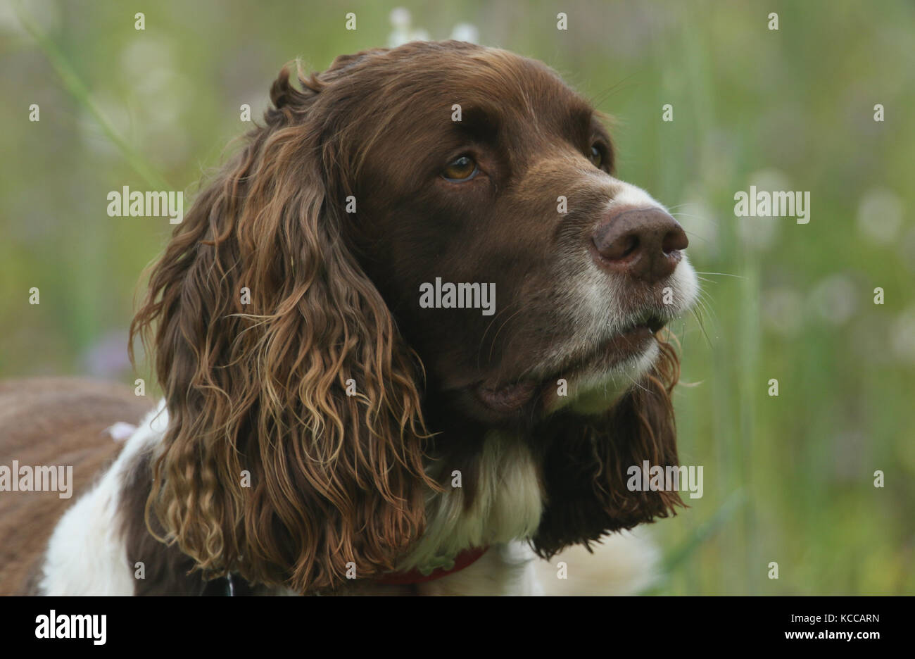 A head shot of a cute English Springer Spaniel Dog (Canis lupus familiaris). - Stock Image