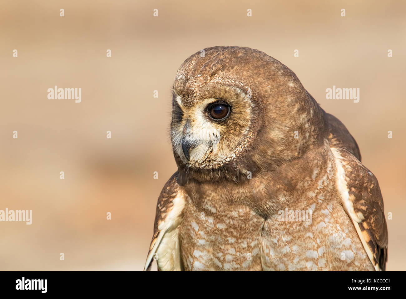 Head close up of an owl, South Africa Stock Photo
