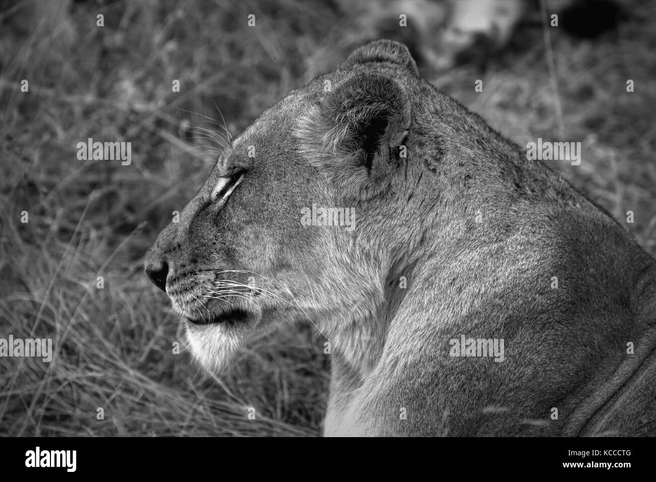 Close up of lion in the Kruger National Park, South Africa Stock Photo