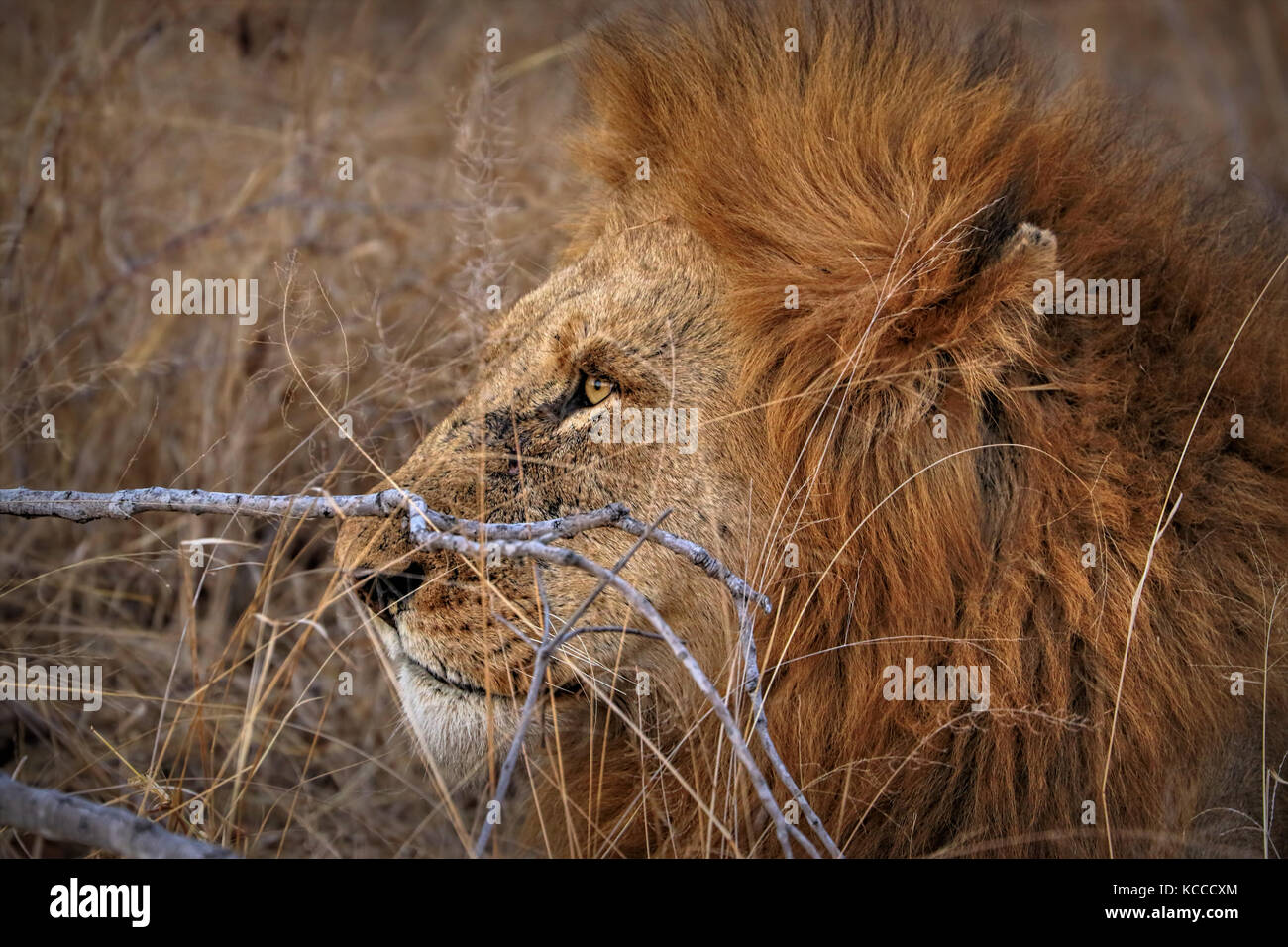 Close up of male lion in the Kruger National Park, South Africa Stock Photo