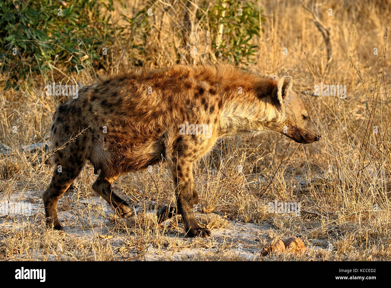 Pregnant Hyena in the Kruger National Park in South Africa - Stock Image