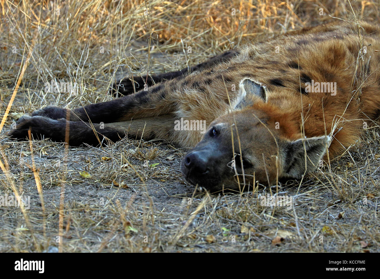 Hyena in the Kruger National Park in South Africa - Stock Image