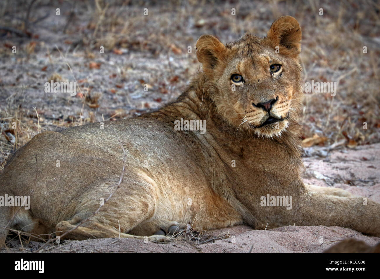 Close up of lion in the Kruger National Park, South Africa - Stock Image