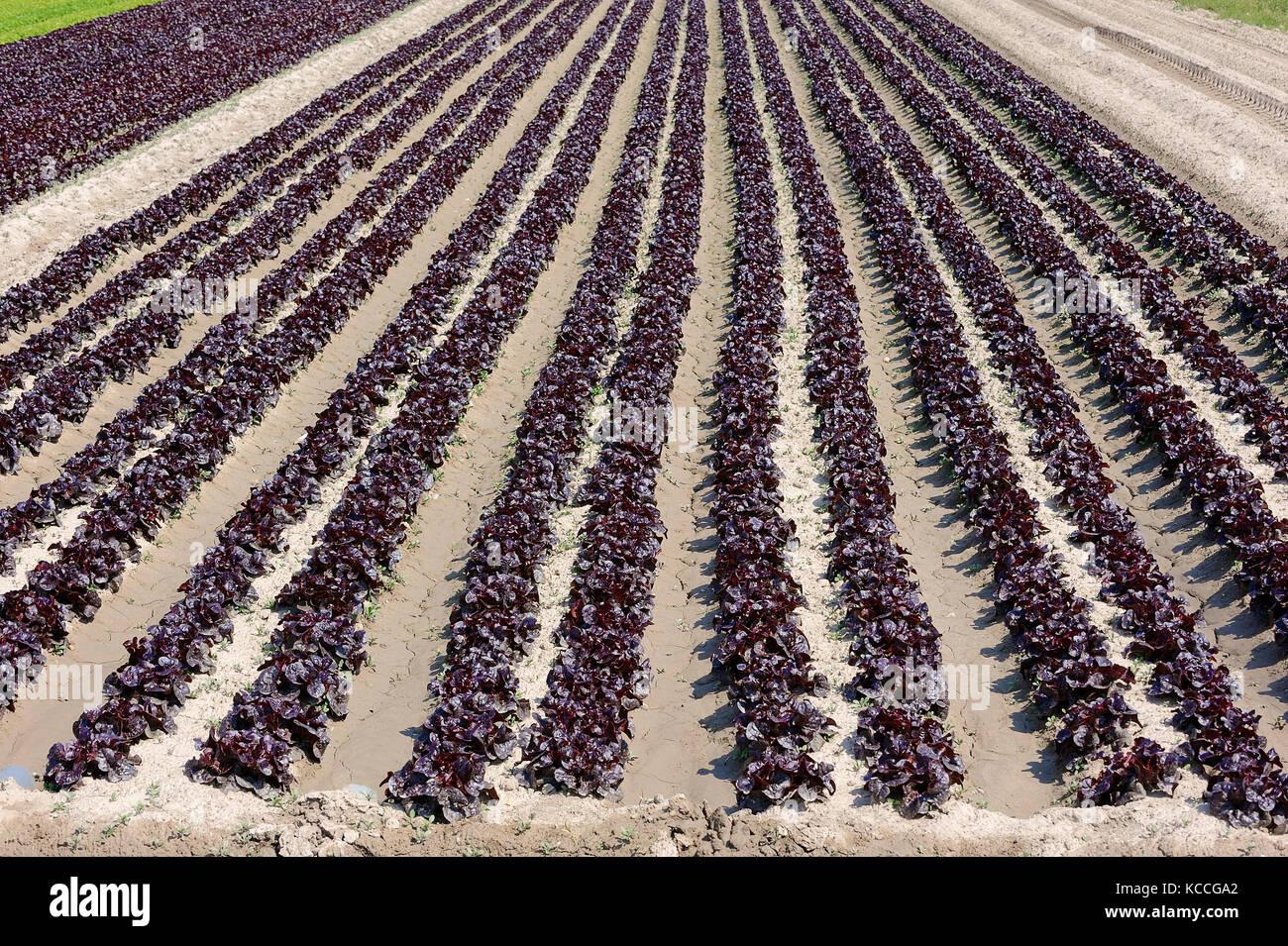 Field with Lollo Rosso lettuce, Provence, Southern France / (Lactuca sativa var. crispa) | Feld mit Lollo Rosso - Stock Image