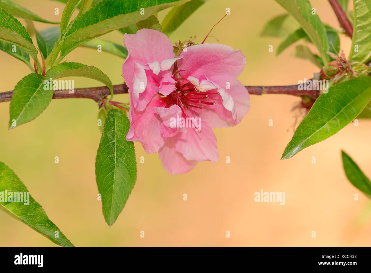 Peach Tree, blossom, Provence, Southern France / (Prunus persica) | Pfirsichbaum, Bluete, Provence, Suedfrankreich - Stock Image