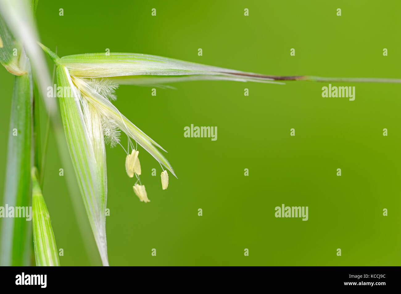 Animated Oat, Provence, Southern France / (Avena sterilis) | Tauber Hafer, Provence, Suedfrankreich Stock Photo