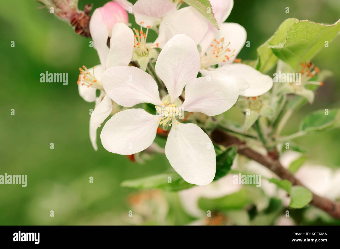 Apricot Tree Blossoms Provence Southern France Prunus Stock
