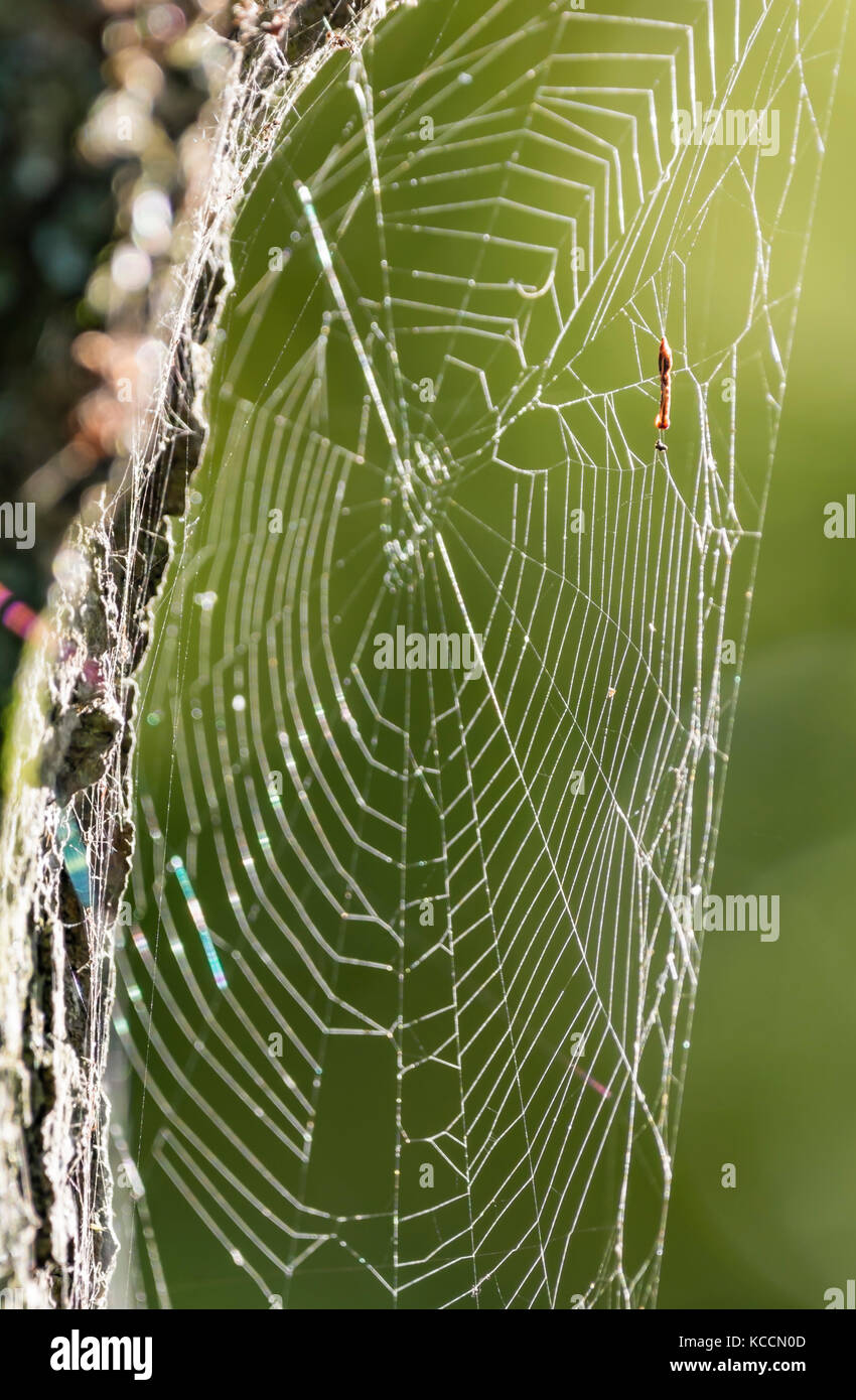 Spiders web attached to a tree in Autumn, lit up by the sun in the UK. - Stock Image