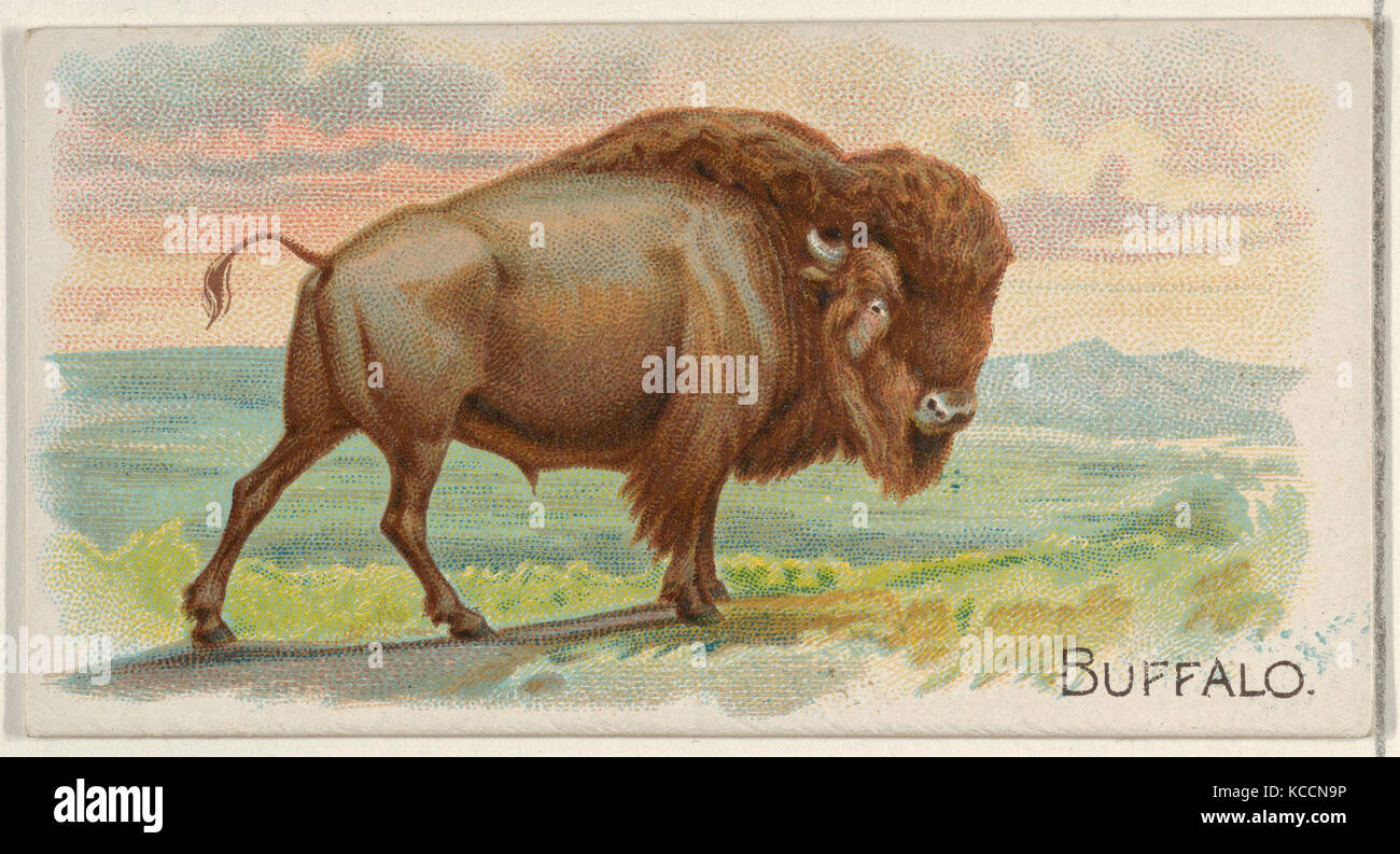Buffalo, from the Quadrupeds series (N21) for Allen & Ginter Cigarettes, 1890 - Stock Image