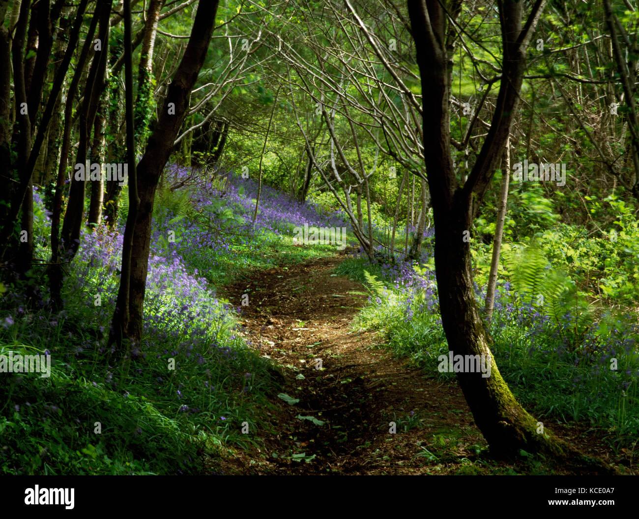 King's Wood, Pentewan, St Austell, Cornwall, England. Bluebells growing below hazel and sycamore beside a woodland Stock Photo