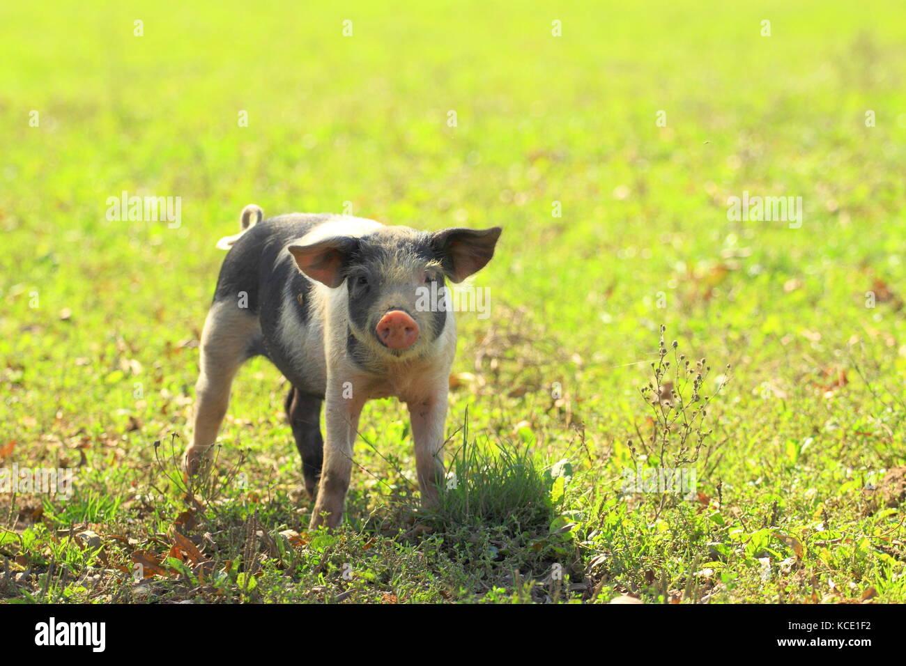 Piglets, Nature park Lonjsko polje, Croatia - Stock Image