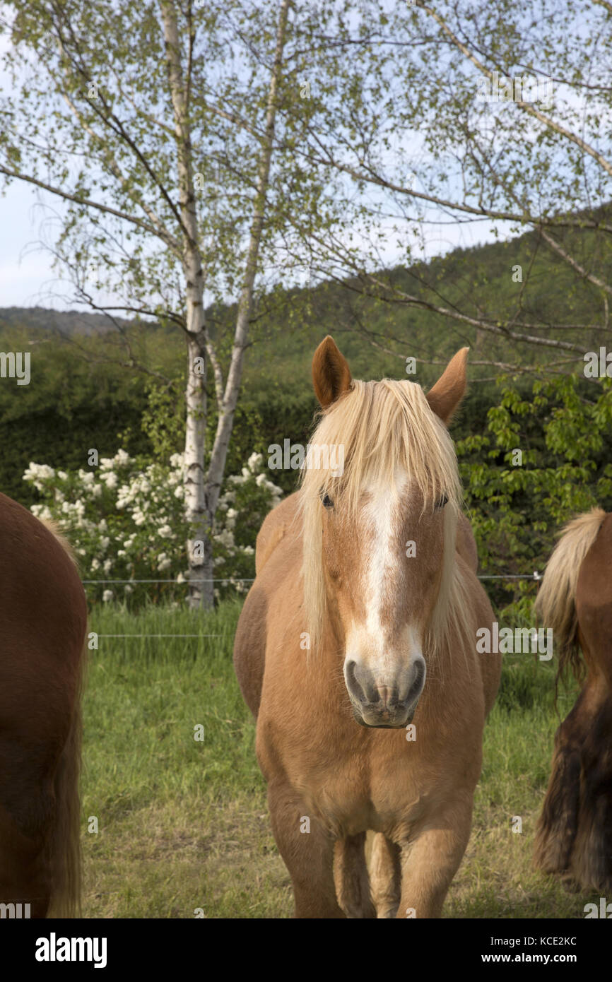 Cheval de la Cerdagne, Pyrénées-Orientales Stock Photo