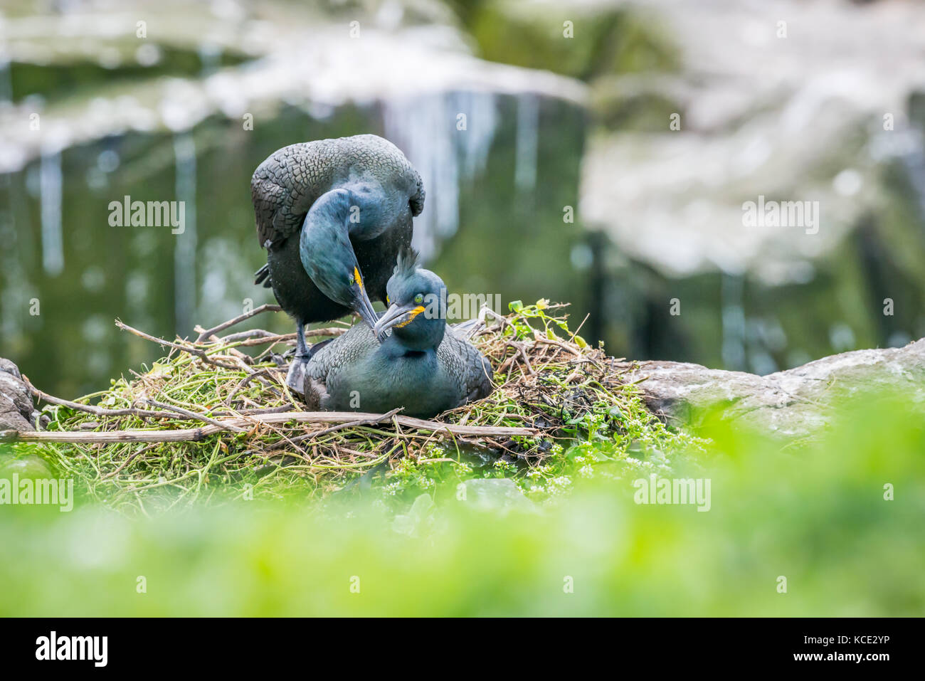 Two shags mating on their clifftop nest in the Farne Islands, May. Stock Photo