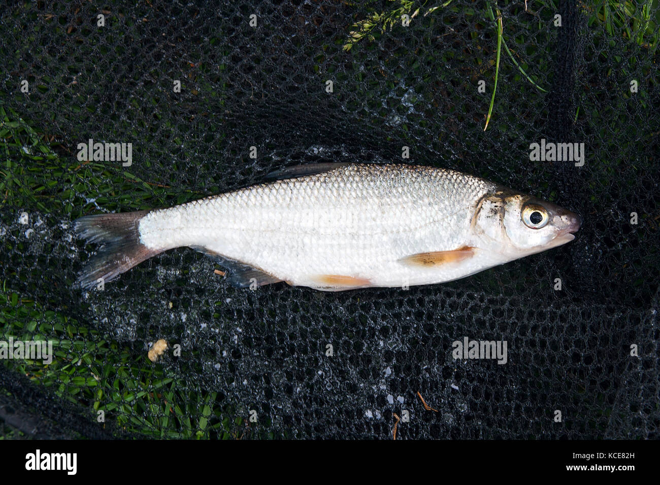 Close up view of just taken from the water freshwater common nase fish known as European potamodromous cyprinid Stock Photo