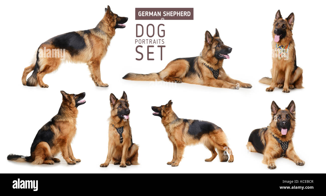 Set of Portraits of Fluffy German Shepherd Dog. The symbol of 2018 year by Chinese traditional horoscope - Stock Image