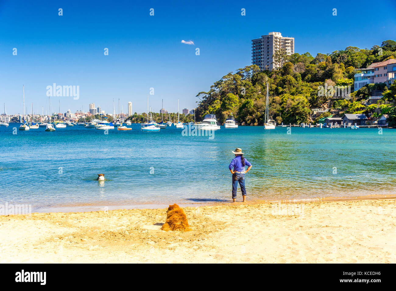 A German Shepherd dog retrieves a ball from the water at a Sydney Beach - Stock Image