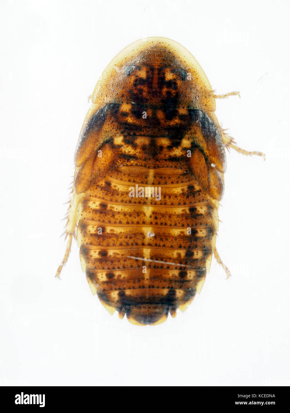 Orange spotted Cockroach  in resin - Argentina (42) - Stock Image