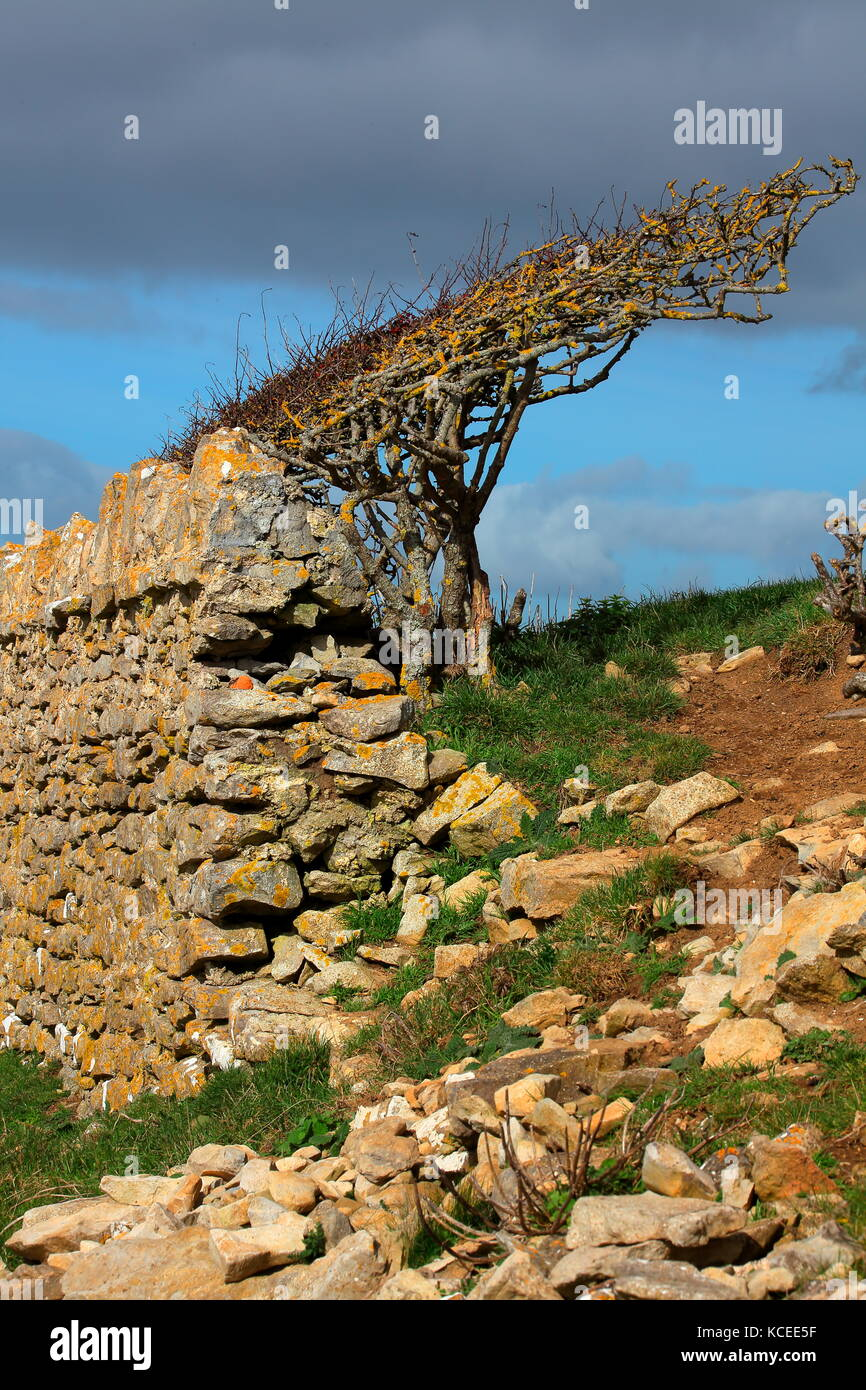 Hawthorn tree bent over by prolonged winds blowing in off the sea showing a stone wall acting as a dam for two field - Stock Image