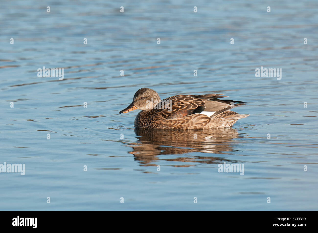 An adult female gadwall (Anas strepera) swimming on a lake at RSPB Fairburn Ings, Castleford, West Yorkshire. February. - Stock Image