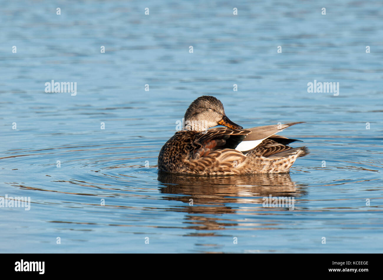 An adult female gadwall (Anas strepera) preening on a lake at RSPB Fairburn Ings, Castleford, West Yorkshire. February. - Stock Image