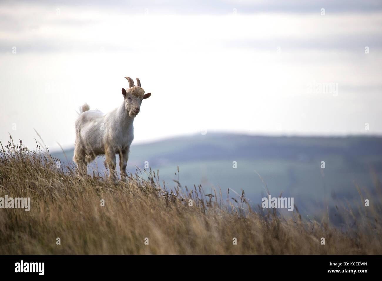 Young Kashmiri mountain goat  Capra falconeri cashmiriensis Capra Markhor on hillside of Great Orme, North Wales - Stock Image