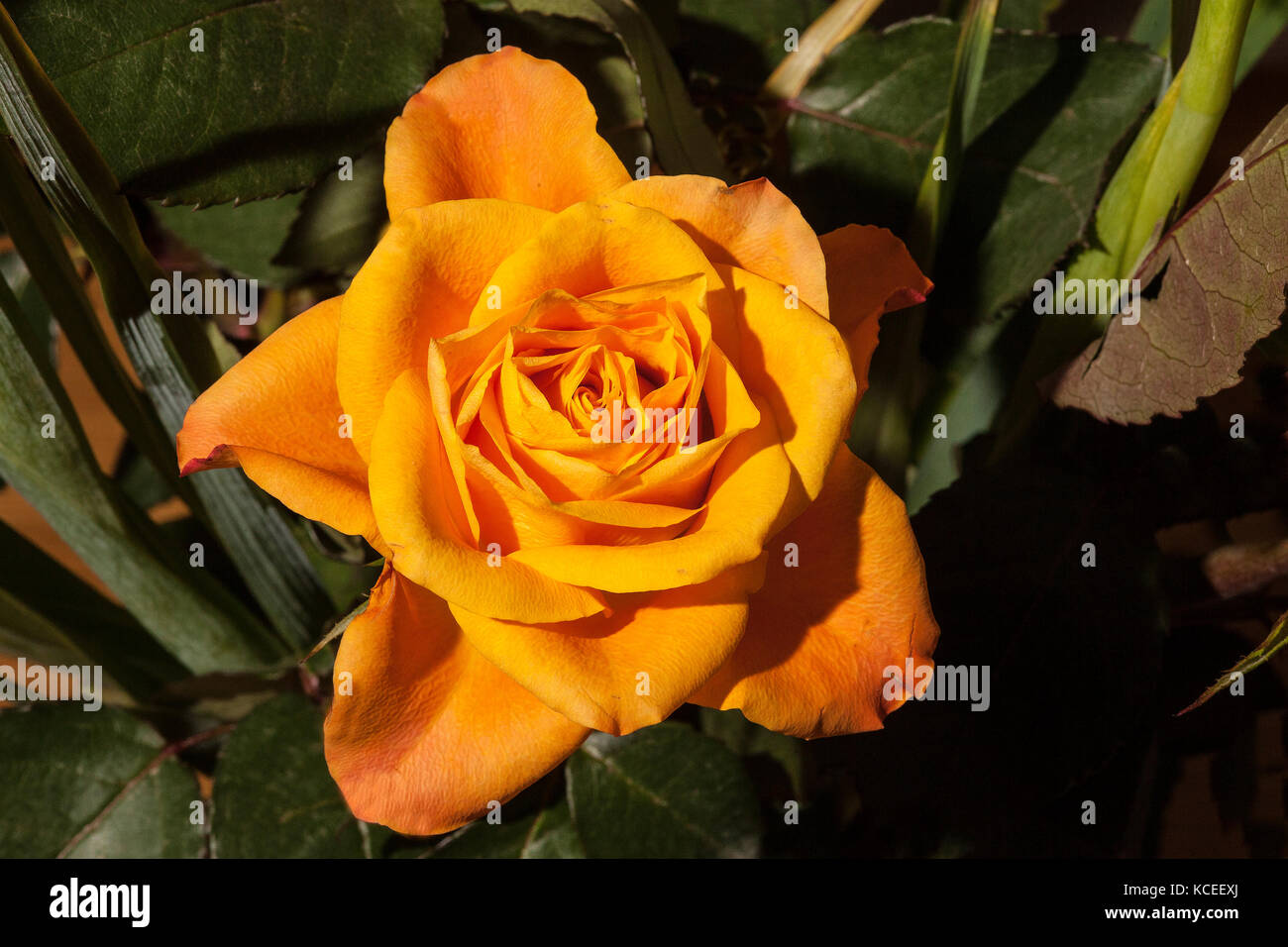 The yellow rose of texas stock photos the yellow rose of texas single yellow rose stock image mightylinksfo