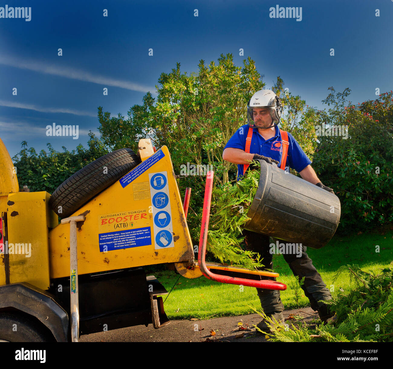 Profession tree surgeon empties a bin of leylandii trimmings into the power driven mulching machine cutting them - Stock Image