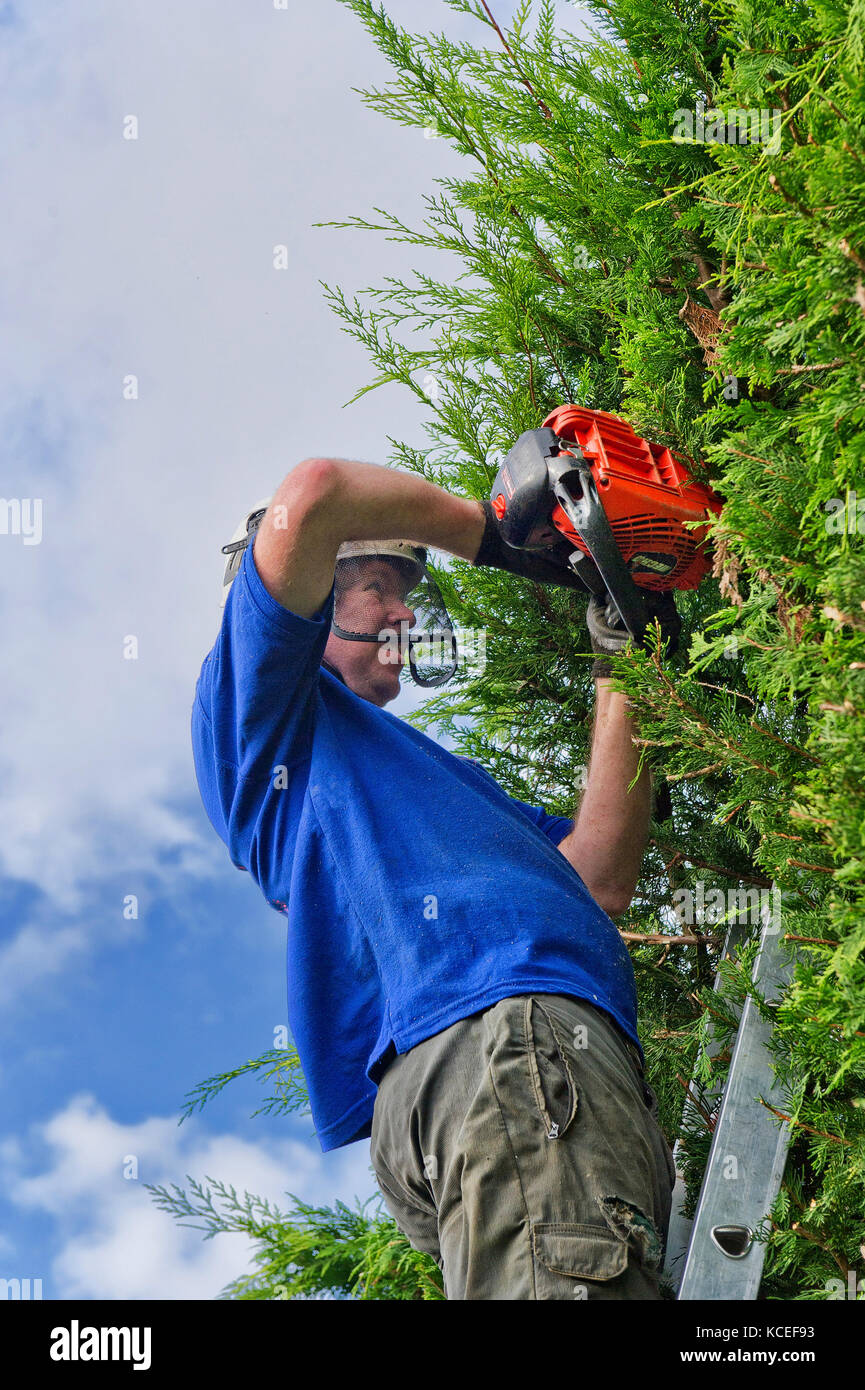 Professional tree surgeon up a ladder using power hedge trimmer to cut back overgrown leylandii - Stock Image
