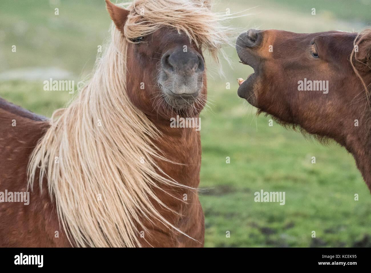 Funny horse - Shetland Ponies fighting in the Shetland Islands, Scotland, UK - Stock Image