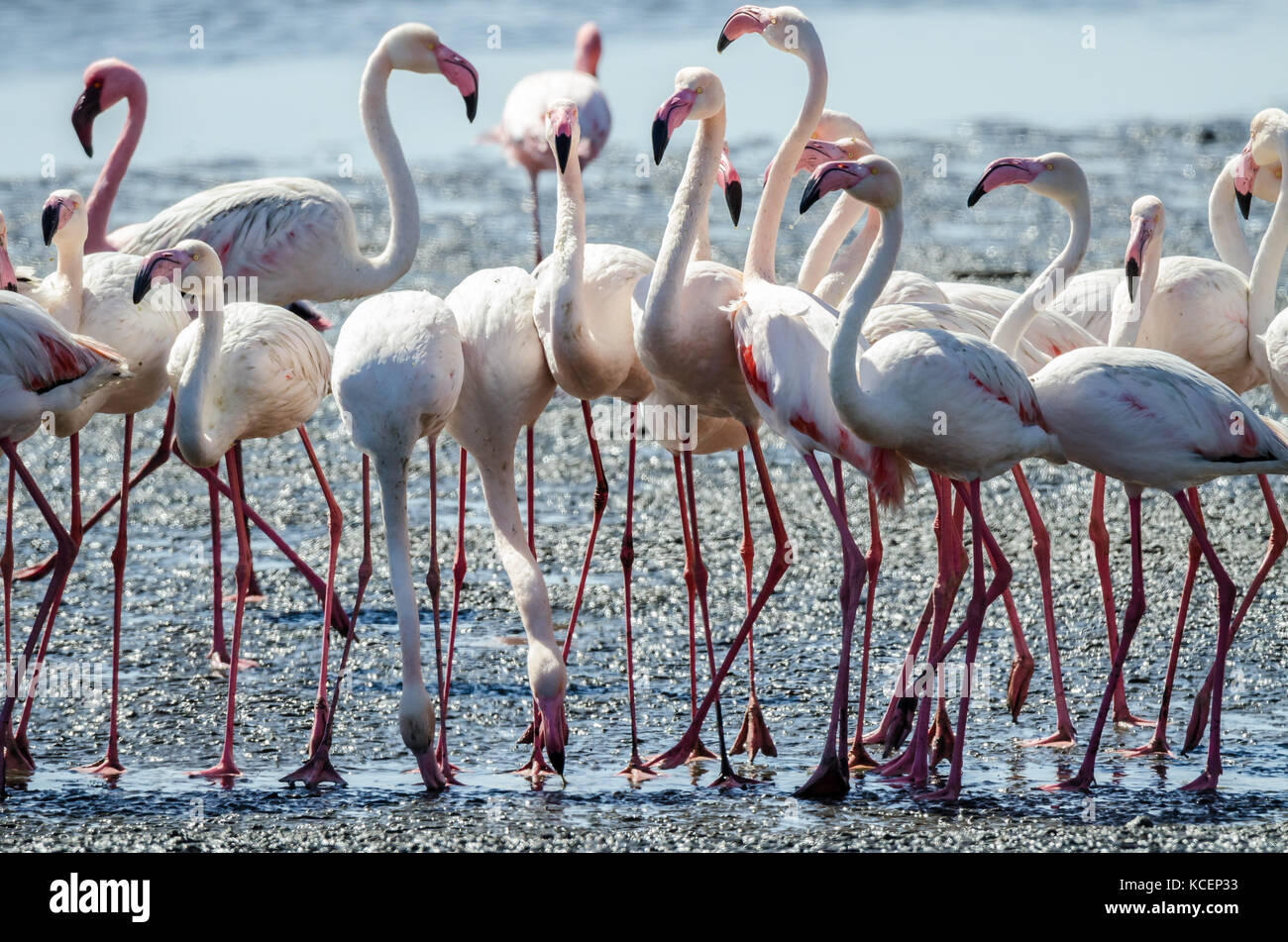 Flock of pink flamingos gathered at Namibia's Sandwich Harbour seaside and lagoon were wading to search for their Stock Photo
