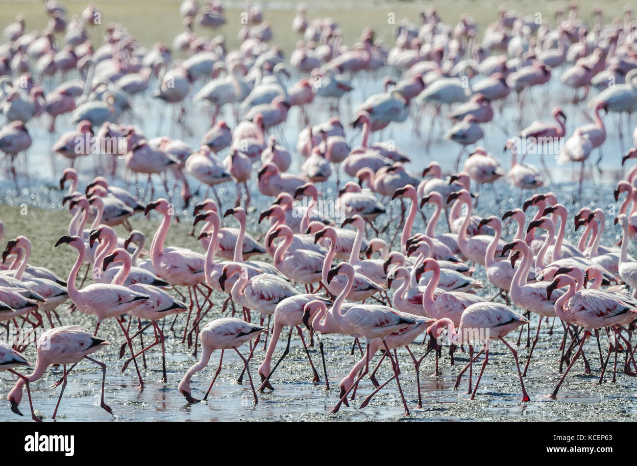 Flock of pink flamingos gathered at Namibia's Sandwich Harbour seaside and lagoon were wading to search for - Stock Image