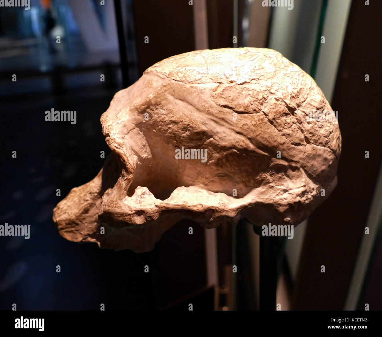 Australopithecus Africanus, an extinct (fossil) species of the australopithecines, the first of an early ape-form - Stock Image