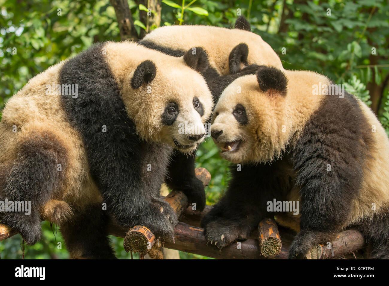 Giant Pandas, Ailuropoda melanoleuca, at Panda Research Base, Chengdu, Sichuan, China - Stock Image