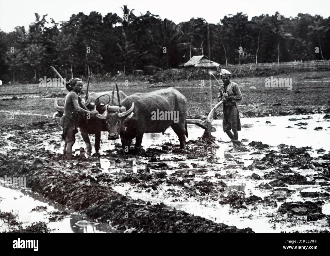 Photograph of farmers ploughing with bullocks and a wooden plough in Java, Indonesia. Dated 19th Century - Stock Image